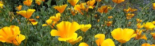 Californica Eschscholzia παπαρουνών Καλιφόρνιας που καίγεται στον ήλιο απογεύματος οριζόντιο στοκ εικόνα