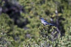 californica jay aphelocoma scrub западной Стоковые Фотографии RF