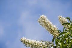 Californica van de bloemenaesculus van Californië buckeye stock afbeeldingen