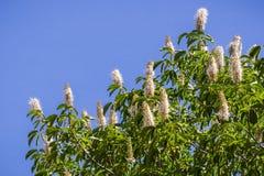 Californica van de bloemenaesculus van Californië buckeye royalty-vrije stock afbeeldingen
