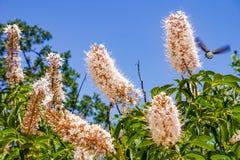 Californica van de bloemenaesculus van Californië buckeye royalty-vrije stock foto's