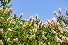 Californica van de bloemenaesculus van Californië buckeye stock foto