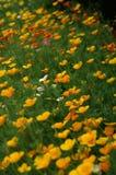 californicaeschscholzia royaltyfria foton
