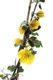 Californicum del Fremontodendron Fotografía de archivo libre de regalías