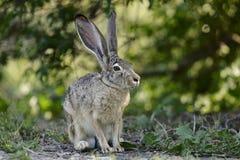 被盯梢的黑色californicus长耳大野兔天兔座 库存图片