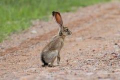 黑被盯梢的长耳大野兔(天兔座californicus) 库存照片