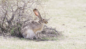野生黑被盯梢的长耳大野兔(天兔座californicus) 库存图片