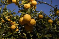 Californiia cytryny przygotowywać zbierać Obraz Stock