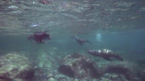 Californische californianus van zeeleeuwenzalophus speelt met met duikers in Los Isoletes overzees van eilandcortez La Paz stock footage