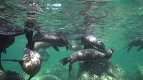 Californische californianus van zeeleeuwenzalophus speelt met met duikers in Los Isoletes overzees van eilandcortez La Paz stock videobeelden