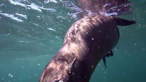 Californische californianus van zeeleeuwenzalophus speelt met met duikers in Los Isoletes overzees van eilandcortez La Paz stock video