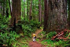 Californische sequoia royalty-vrije stock foto's