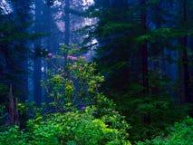 Californische sequoia Stock Afbeeldingen