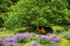 Californische sequoia Royalty-vrije Stock Afbeeldingen
