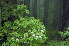 Californische sequoia Royalty-vrije Stock Fotografie