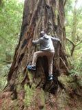 Californische sequoia de bosv.s. Stock Afbeelding