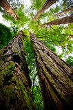 Californische sequoia die omhoog eruit ziet royalty-vrije stock afbeeldingen