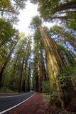 Californische sequoia Forest Highway royalty-vrije stock afbeelding