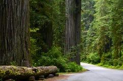 Californische sequoia Nationaal Bos Royalty-vrije Stock Afbeelding
