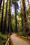 Californische sequoia Path2 Royalty-vrije Stock Afbeeldingen