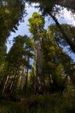 Californische sequoia's stock foto