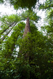 Californische sequoia's Stock Afbeeldingen