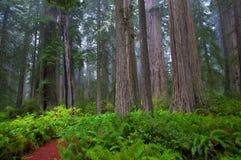 Californische sequoia's stock fotografie