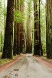 Californische sequoia's royalty-vrije stock afbeeldingen