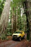 Californische sequoia's Royalty-vrije Stock Fotografie