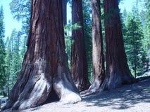 Californische sequoia's Royalty-vrije Stock Afbeelding