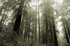 Californische sequoia's in de mist Royalty-vrije Stock Foto's