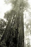 Californische sequoia's in de mist Stock Afbeeldingen