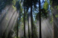 Californische sequoia's in de mist stock afbeelding