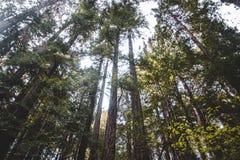 Californische sequoia's die omhoog aan de hemel kijken stock afbeeldingen