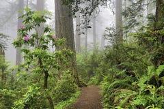 Californische sequoia's en rododendrons Stock Afbeeldingen