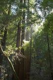 Californische sequoia's in hout Muir royalty-vrije stock afbeelding