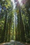 Californische sequoia's op de Weg van de Reuzen stock afbeeldingen