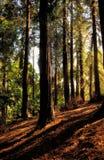 Californische sequoia's op een Heuvel Stock Afbeelding