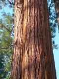 Californische sequoia's van Californië royalty-vrije stock fotografie