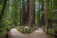 Californische sequoiabomen stock foto's