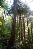 Californische sequoiabomen Royalty-vrije Stock Afbeeldingen