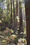 Californische sequoiabomen Stock Afbeelding