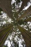 Californische sequoiabomen Stock Fotografie