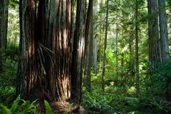 Californische sequoiabomen Stock Afbeeldingen