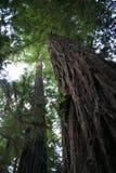 Californische sequoiabomen, Grote Sur Californië Stock Afbeeldingen