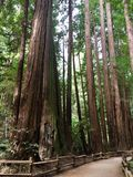 Californische sequoiabomen in Muir Woods National Monument Royalty-vrije Stock Fotografie