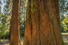 Californische sequoiaboom Stock Afbeeldingen