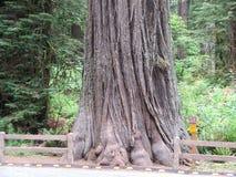 Californische sequoiabos royalty-vrije stock afbeeldingen