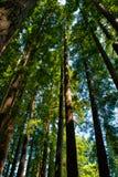 Californische sequoiabos - lang hout royalty-vrije stock afbeeldingen