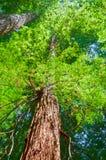 Californische sequoiabos met kroonbovenkanten van oude Californische sequoiabomen in Weg van de Reuzen stock afbeeldingen
